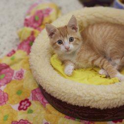 orange-kitten-sitting-in-cat-bed