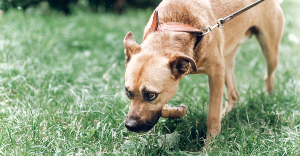 Tan, large breed dog sniffing close to the grass has diarrhea and searching for a place to relieve himself.