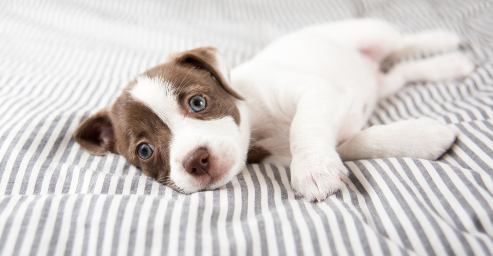 Small, brown and white mixed breed puppy with blue eyes resting on grey and white striped bed spread after having dog vaccinations.