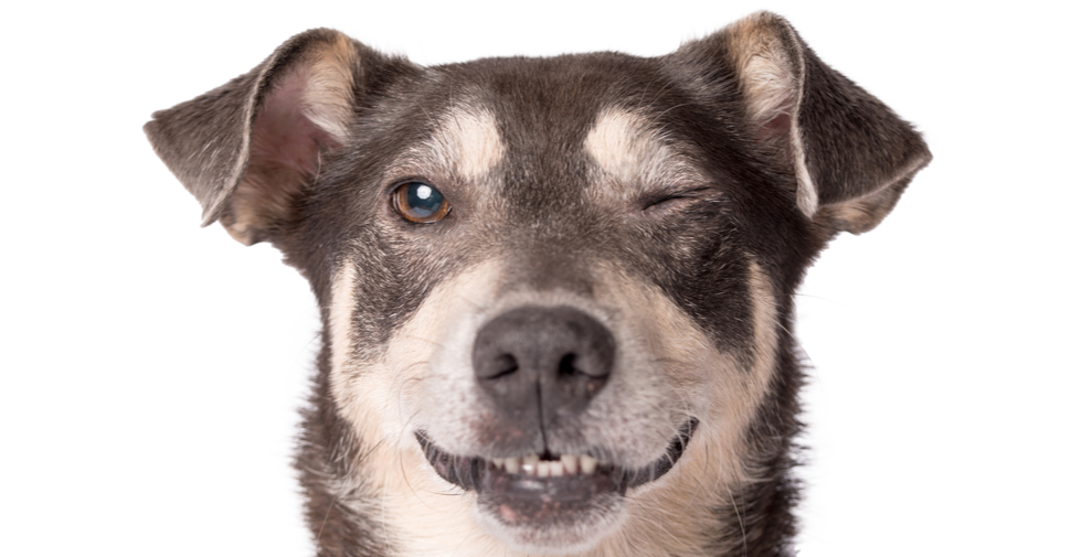 Brown and white medium sized dog breed with one eye closed because of a dog eye infection.
