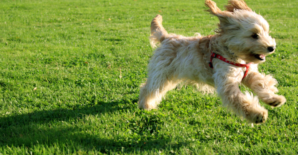 Golden mixed breed dog without joint pain is running over grass.