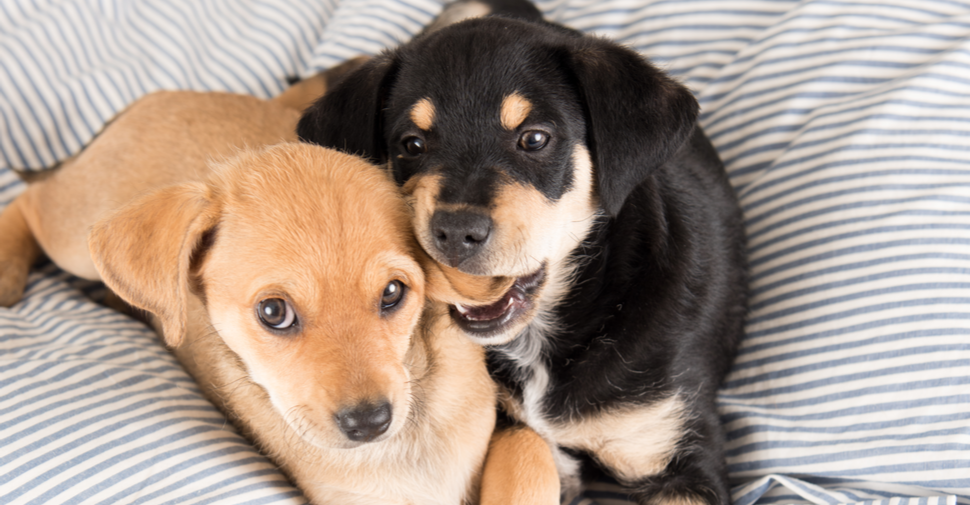 Two puppies laying on soft bed with one puppy chewing, tugging, or biting on second puppy's ear.