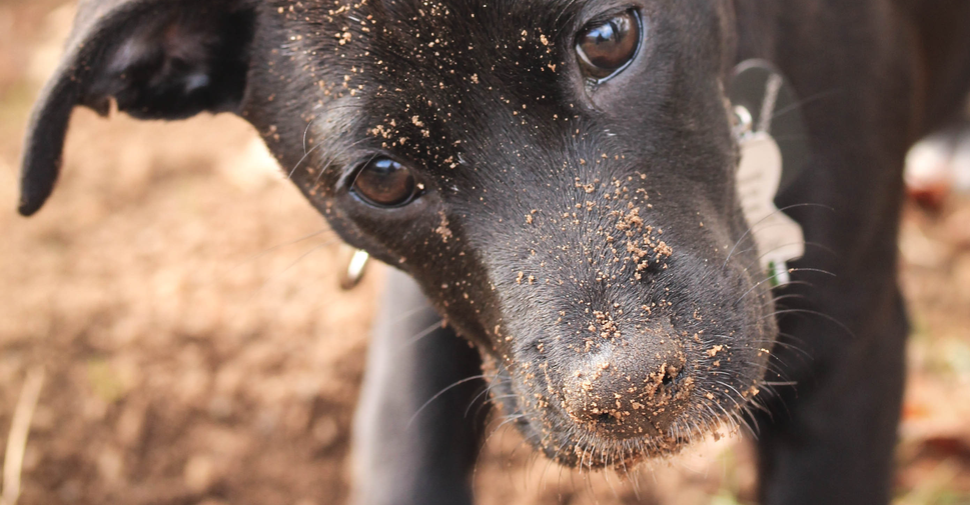 Alt text: Close up of mixed breed dog face with sand all over his nose from digging holes.