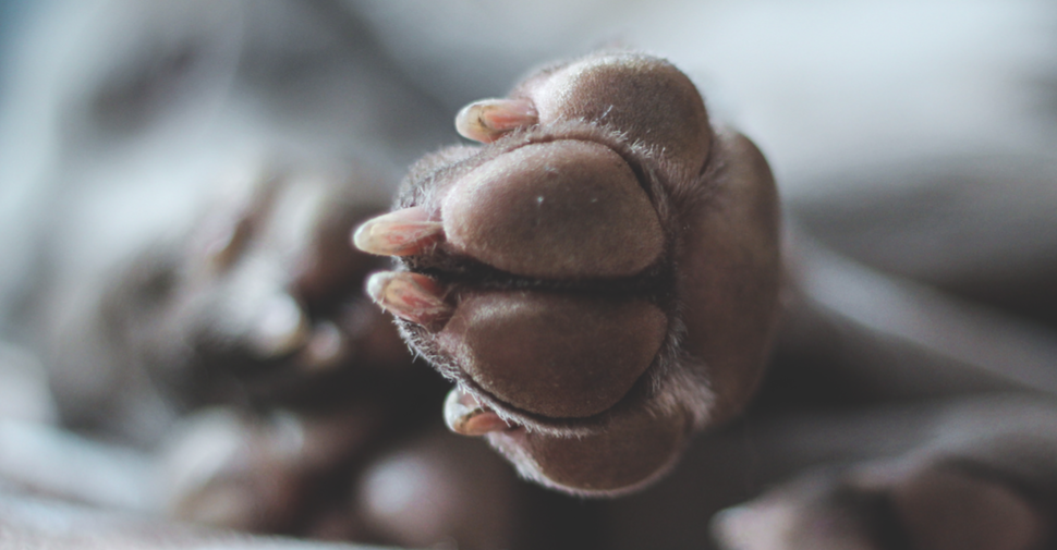Close up of brown dog paw with white, transparent nails and pink quicks.