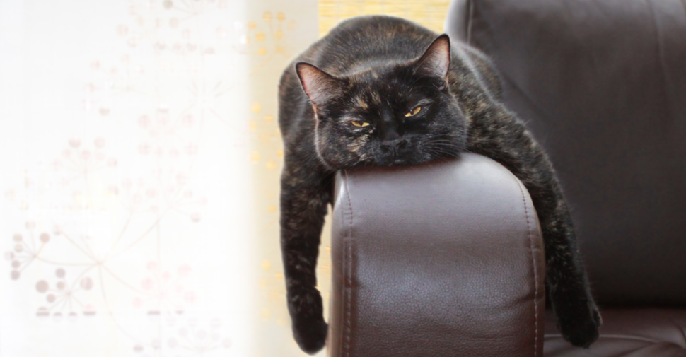 Mixed breed black cat with amber eyes half closed draped over the arm of a chair with front legs dangling over the sides.