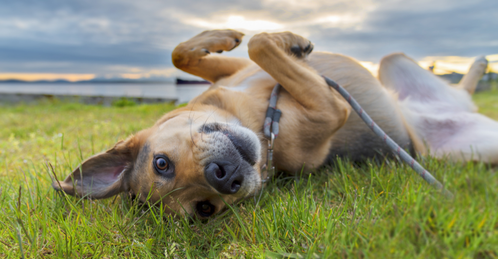 Tan, mixed breed medium dog lying on his back rolling around on green grass