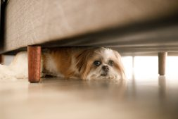 Dog Under A Couch.