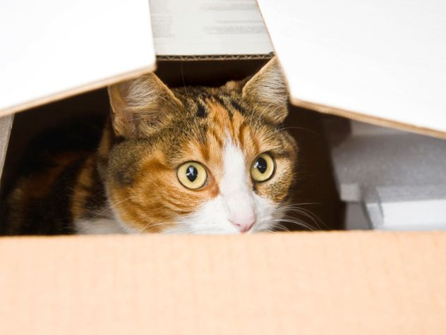 cat inside box