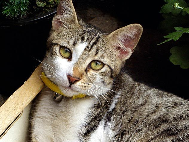 cat with yellow collar staring