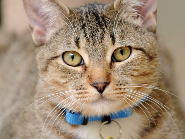 cat with blue collar