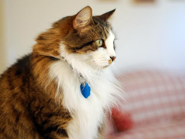 brown and white cat with blue collar